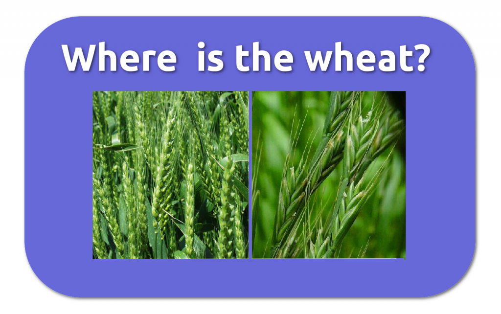 whereisthewheat